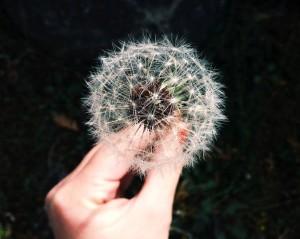hand-garden-flower-dandelion